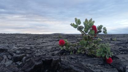 Hawaii-Big Island-Lavaflower